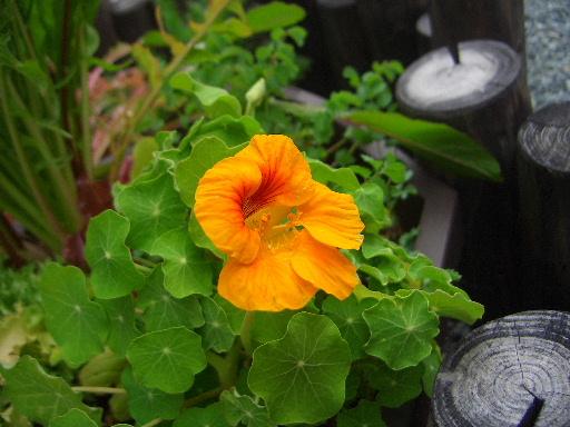 ナスタチウム花.JPG